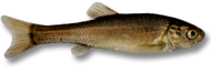 Black Tuffie Minnow