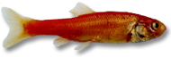 Rosey Red Minnow